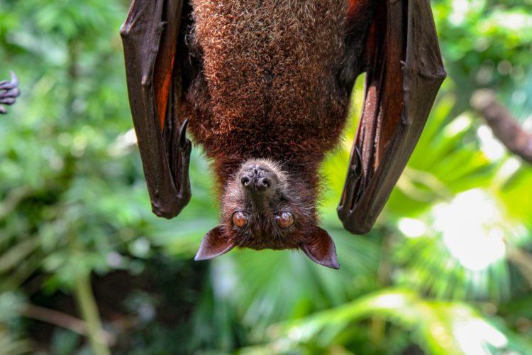 pipistrello missione covid cina